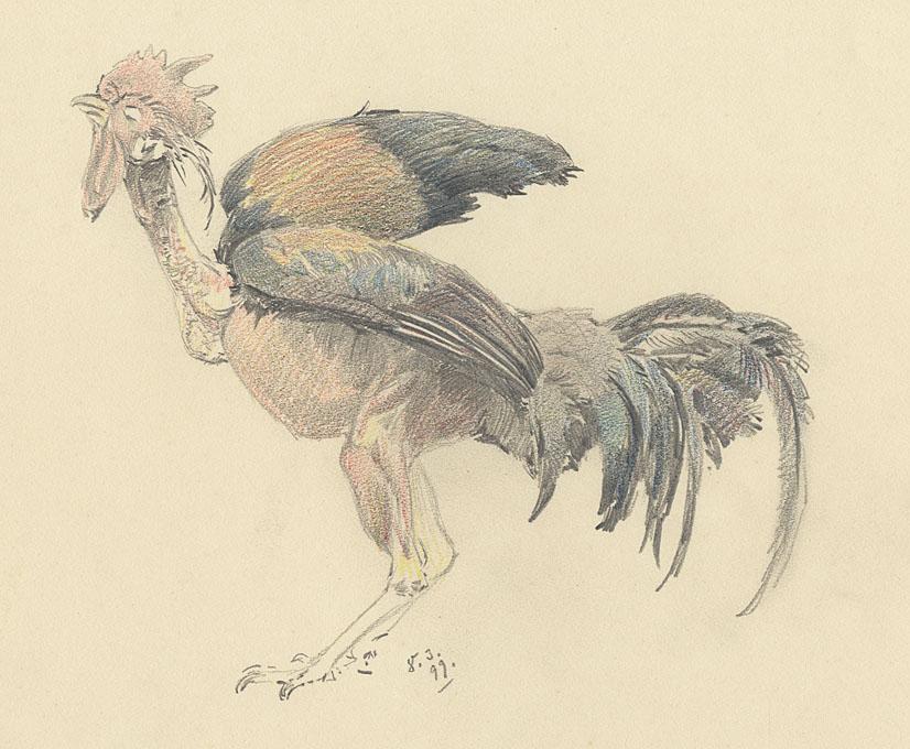 Carl Kessler (1876 Coburg - 1968 München) : Hahn (Anatomie-Studie ...